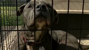 Staffordshire terrier - generic