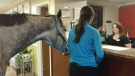 Lindsey Partridge checks into the Super 8 in Georgetown, Ky. with her horse Blizz in a handout photo. A Canadian horse has had the opportunity to watch television for the first time at a pet-friendly Kentucky motel.THE CANADIAN PRESS/HO-Lindsey Partridge