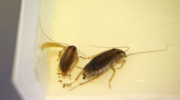 Cockroaches are seen in Winnet Runhare's apartment.