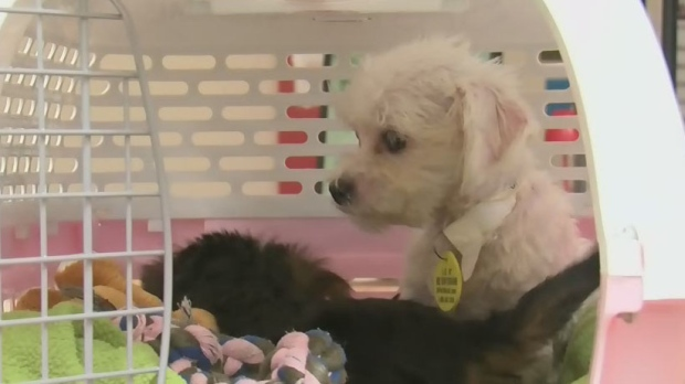 71 puppies up for adoption after rescue from suspected Quebec puppy