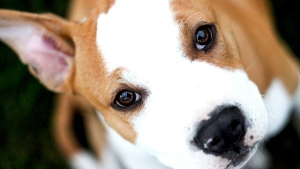 New research found that when humans had their backs turned, or were distracted, the dogs' faces were much less active -- regardless of whether the human was offering a food treat or not. (zhobla91/IStock.com)