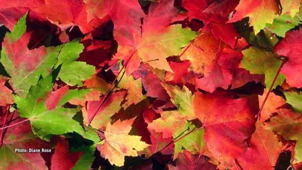 Fall chemistry. (Diane Rose/CTV Viewer)