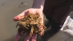 Bringing wild rice back to Lake Simcoe