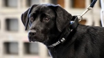 In this image provided by the CIA, young detector dog Lulu, during her initial training as a bomb detector dog. Lulu lost her love of sniffing out bombs and has returned to civilian life. (CIA via AP)