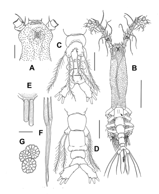 Taxonomic drawing of the <i>Monstrillopsis planifrons.</i> (University of Manitoba)