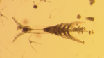 <i>Monstrillopsis planifrons,</i> or flat-headed monster. (Aurelie Delaforge / University of Manitoba)