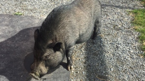 Lyle, a two-year-old black pig, is shown in this undated handout image. A pig with personality is searching for a forever farm after being seized during a cruelty investigation in British Columbia. THE CANADIAN PRESS/HO-BC SPCA