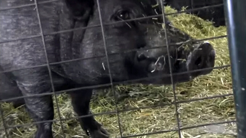 Lyle is pictured in a video posted by the BC SPCA.