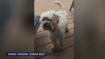 Jak is a four-year-old cockapoo last spotted in the area between the 125 Highway and Mayflower Mall in Sydney.