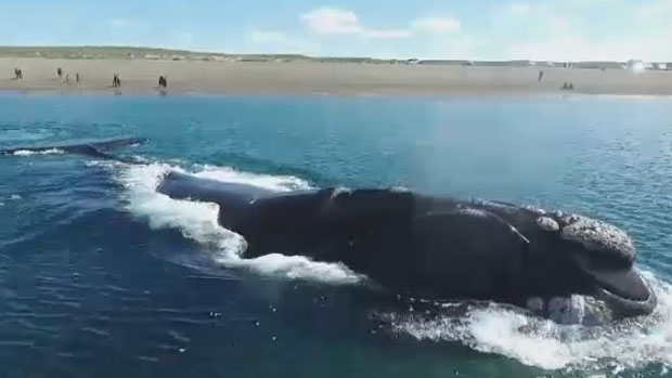 The North Atlantic right whale population is estimated to be at 420, with 15 dying since the spring of 2017.