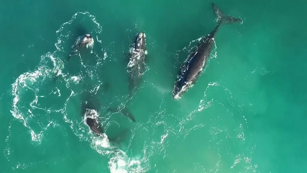 CTV National News: Scientists discuss right whales