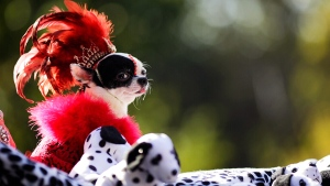 Dog costume parade draws thousands of spectators