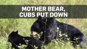 Bears put down after B.C. resident attacked