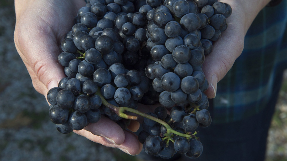 Lucie Kuhlmann grapes are displayed at Petite Riviere Vineyards in Crousetown, N.S. on Oct. 20, 2017.  (Andrew Vaughan / THE CANADIAN PRESS)