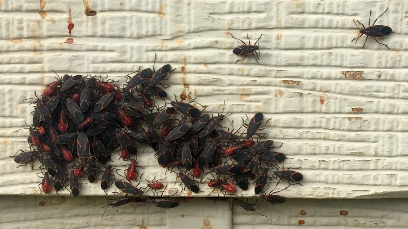 Squishing maple bugs releases a minor odor and mess (Laura Woodward/CTV Saskatoon).