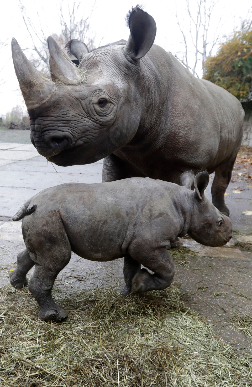 Czech zoo cheers birth of endangered eastern black rhino ...