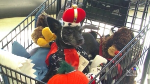 CTV Montreal: Dogs in costume