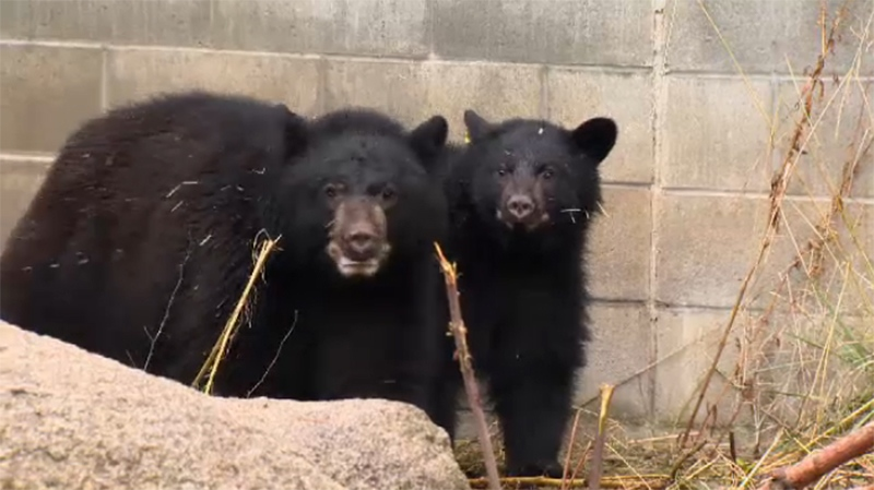Five bear cubs have arrived at the recovery centre since the summer, prompting the organization to speak out to prevent further conflicts. Oct. 25, 2017. (CTV Vancouver Island)