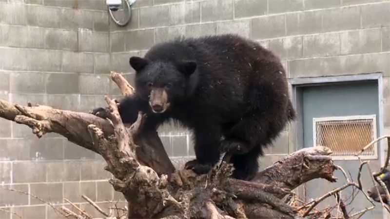 Most of the cubs came into the centre's care because their mothers were killed in conflicts with humans. Oct. 25, 2017. (CTV Vancouver Island)