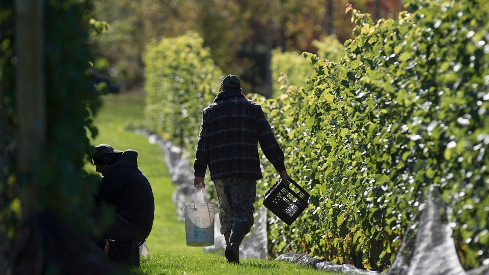 Workers pick grapes at the Luckett Vineyards in Wallbrook, N.S. on Thursday, Oct. 19, 2017. (THE CANADIAN PRESS/Andrew Vaughan)