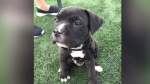 Tank, an eight week old pit bull, was taken from his owner in September.