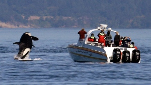 An orca leaps out of the water near a whale watching boat in the Salish Sea in the San Juan Islands, Wash. on July 31, 2015. (Elaine Thompson/AP)