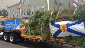 A transport truck heads from downtown Halifax with a Christmas tree bound for Boston on Nov. 16, 2016. (THE CANADIAN PRESS / Alison Auld)