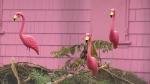Pink house flamingos