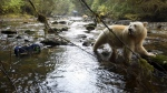 "Filmmakers have partnered with First Nations to provide an unprecedented look at one of B.C.'s most beautiful, raw regions: The Great Bear Rainforest. The film features grizzlies, wolves, whales and the famed Kermode or ""spirit"" bear, and will also focus on local First Nations and how they interact with the land. (Courtesy Pacific Wild)"