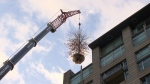 Tree lifted ontoroof of Eugenia Place condo tower