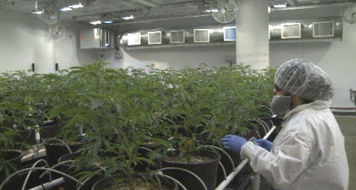 Marijuana plants at Tweed Grasslands in Yorkton