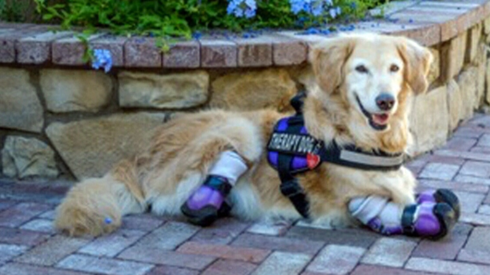 Chi Chi is a quadruple amputee golden retriever that works as a therapy dog in Phoenix, Arizona, after being rescued from a South Korean dog meat operation.