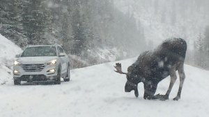 Moose captured during Alberta snow storm (file)