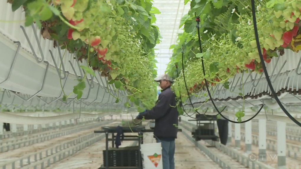 Kingsville's Mucci Farms warns of recruitment scam