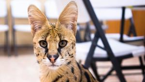 cheetah-like cat
