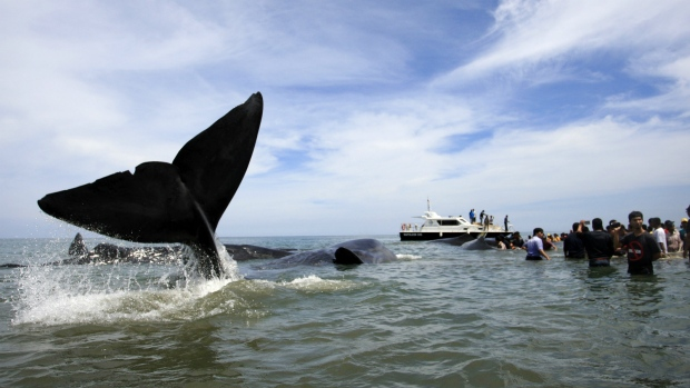 Indonesian authorities strive to rescue nine stranded whales
