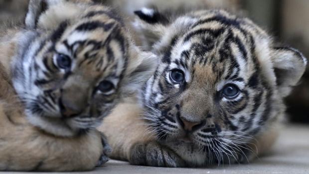 Twin Malayan tigers born at the zoo in Prague