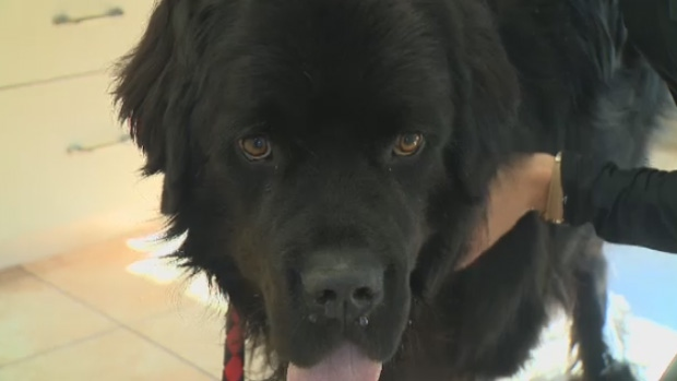 Ted the Newfoundland dog was in desperate need of a blood transfusion and was saved thanks to the kindness of strangers.