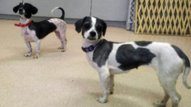 Three dogs found along the side of a road in Centre Wellington are said to be recovering. (Guelph Humane Society)