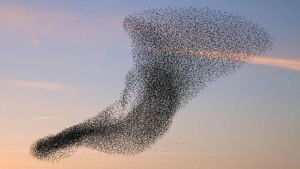 Birds flock in specific patterns and shapes, but why?