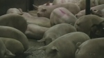 Flu vaccine recommended for pigs