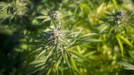 A cannabis plant is shown in southwest Quebec on Oct. 8, 2013. (THE CANADIAN PRESS / Justin Tang)