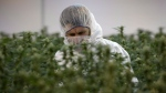 Flowering marijuana plants are inspected by an employee at Tweed in Smiths Falls, Ontario on Thursday, Jan. 21, 2016. THE CANADIAN PRESS/Sean Kilpatrick