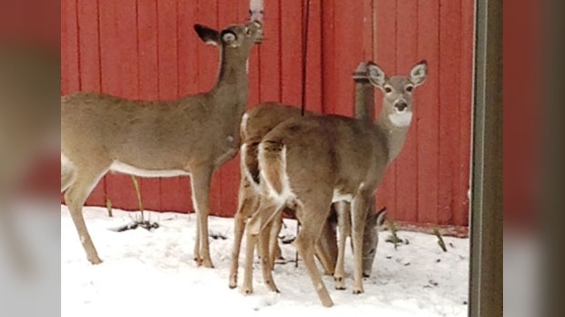 Four daily visitors to our backyard in Island Lakes, Winnipeg. Photo by Bobbie.