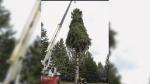 Boston tree