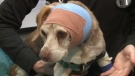 Eight-year-old beagle Sadie Mae is receiving care at the Ottawa Humane Society after she was found suffering from gunshot wounds to the head. Staff hope she will recover enough to be adopted.