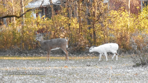 A rare white deer in our back yard in Carp. (Cathy Whitty and Bruce Sample/CTV Viewers)