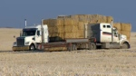 Straw bales in field in southwest Calgary