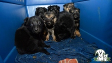 Puppies rescued from dump near High Level (AARCS)