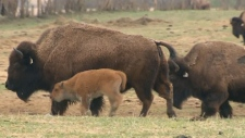 Bison meat a promising industry?